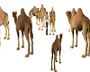 Camels Group