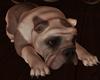 Thinking BullDog