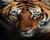 HerTigris Tiger