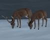 'Whitetail Deer