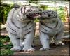 White Tiger Hugs