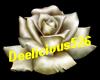 White gothic rose