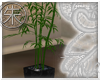 }T{ Live Bamboo Plant