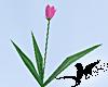 N-Sunset Tulips