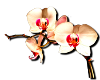 ~real orchid~