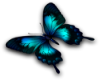 turquoise butterfly R