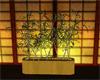 Hatsukoi bamboo plant
