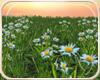 !NC Sunset Daisy Field