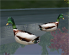 Vermont ducks