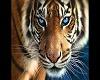 Tiger wanna cuddle