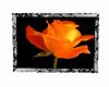 orange rose picture 3
