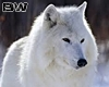 White Wolf Ears