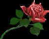 ~DD~ Red Rose