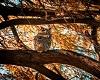 Autumn owl 2