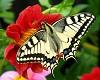 Butterfly anim.