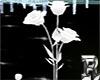Rose White Animated