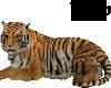 Siberia Tiger Pet Orange