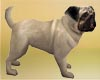 Cute Pug Pet