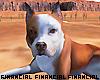 Guard dog Pitbull