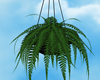 Hanging Fern