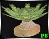 PB Summer Sable Palm