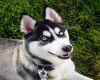 ~2$~ husky dog w/ sound
