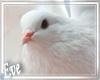 c Pigeons 4Pics