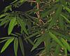 Bamboo 2021