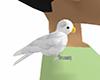 white grey budgie bird