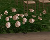 ( K ) SW Roses