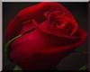 rose plage pose kiss