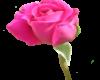 Hot Pink Rosebud