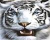 !     WHITE TIGER
