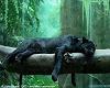 my lazy *Bagheera