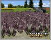 Red  Lettuce Field