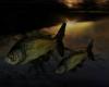 H. Camp Fish animated