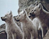 Wide Awake Wolves