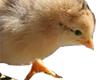 Cute little chick
