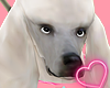 Poddle Dog [White]Drvf