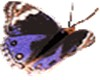 colored butterfly animat