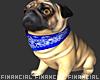 Pablo-Pug Dog