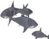 8 sharks circling