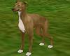 Greyhound Lurcher