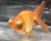 Golden Fish Beat