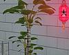 e banana tree