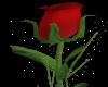 Rose 4 nelson my love