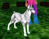 Albino+Doberman+Pet ★