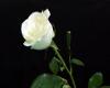 White Rose Pic