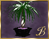 Purple Perfection plant