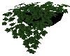 House Plant Ivy